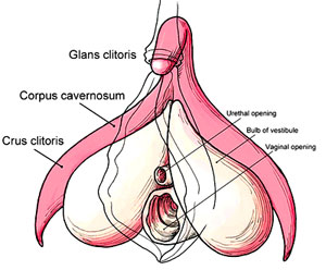 Clitoris picture